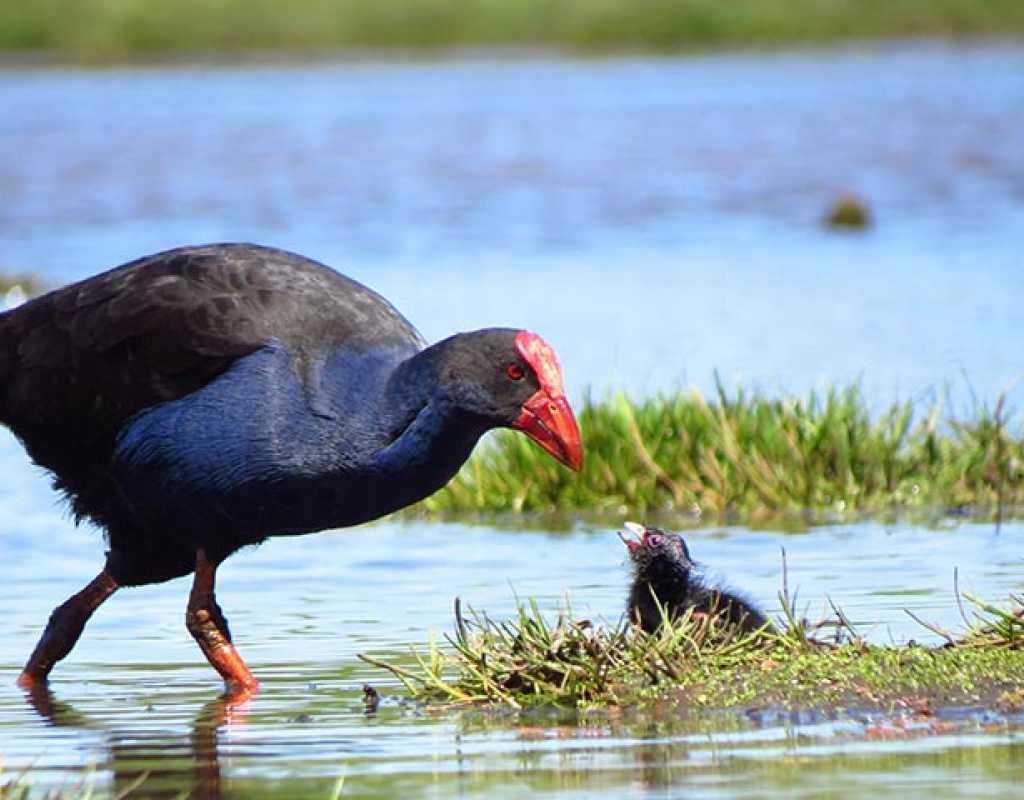 Christchurch Native Birds - Travis Wetland